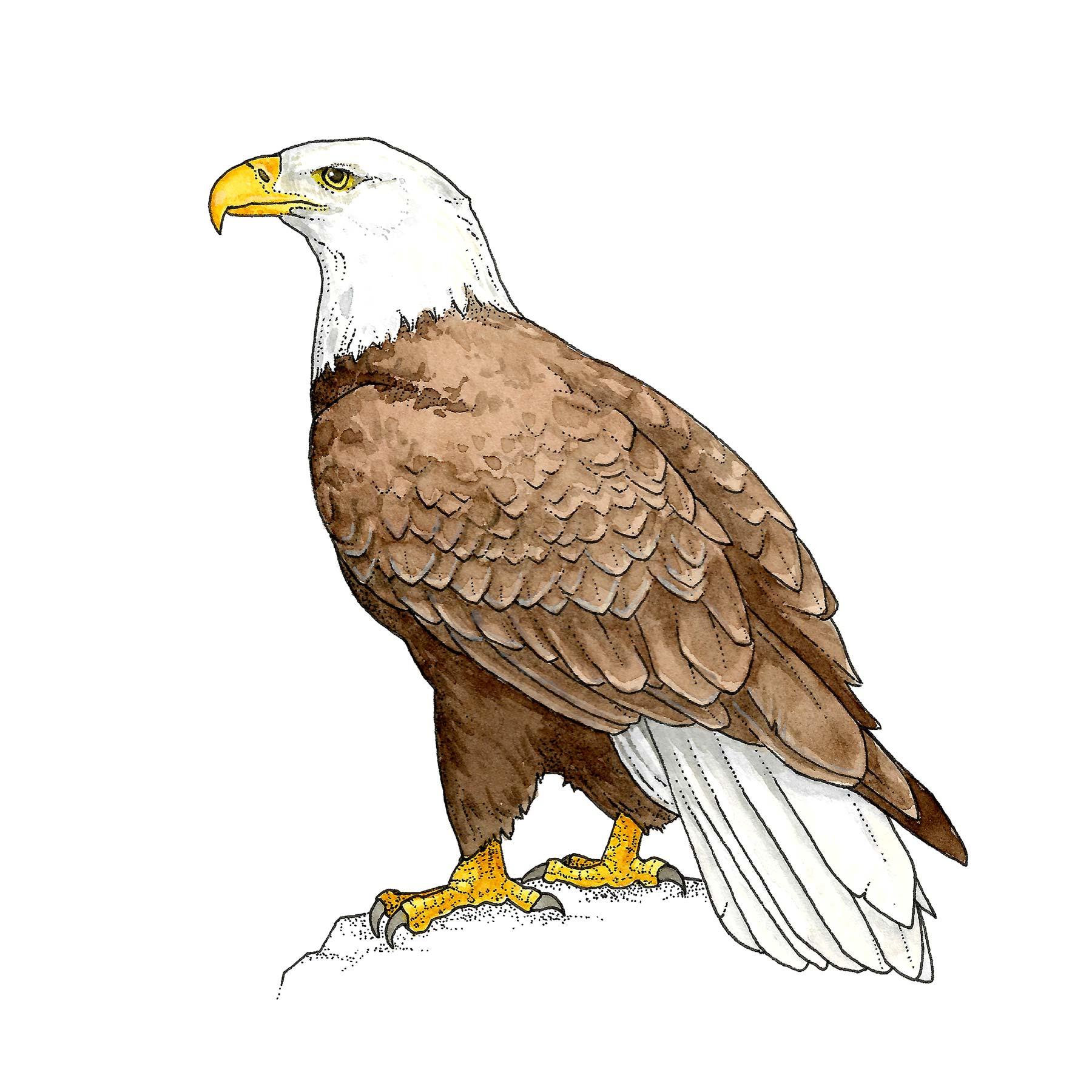 Membership Level - Bald Eagle