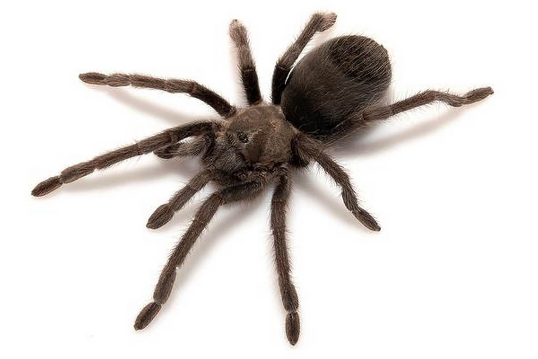 California Tarantula