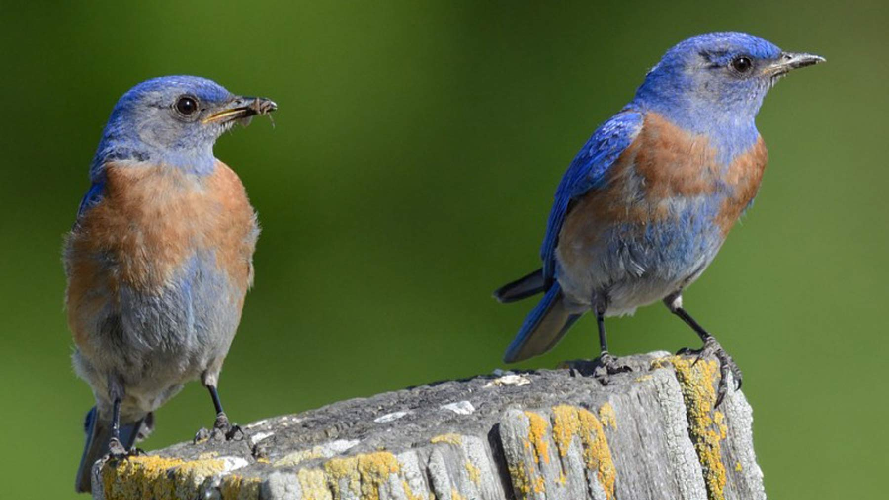 Curiosity Piqued - Western Bluebirds photo courtesy of Napa Audubon Society