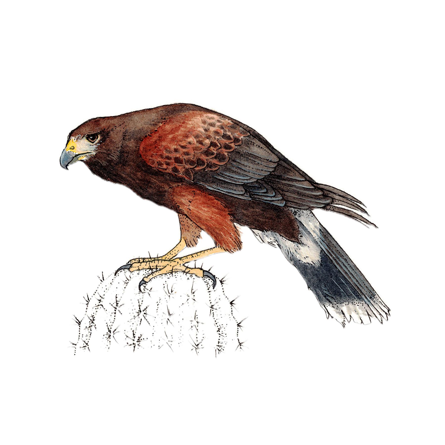 Membership Level - Hawk
